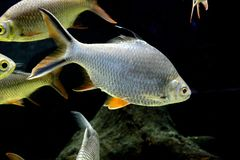 Fish : Red tailed tinfoil barb Barbonymus altus. The red tailed tinfoil Barbonymus altus is a species of freshwater cyprinid fish from South-East Stock Images