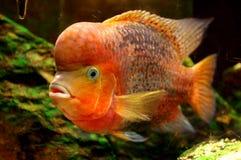 Fish Redheaded Cichlid. Animals zoo royalty free stock image