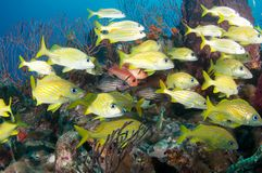 Fish on a Reef Royalty Free Stock Photos