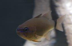 Fish Ring-tailed cardinalfish. Royalty Free Stock Images