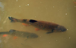 Fish in the river chub Royalty Free Stock Photo