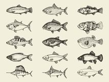 Fish river and marine vintage set. Vector hand drawings. Isolatrd Royalty Free Stock Photos