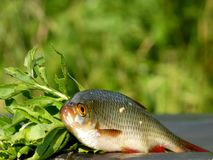 The fish of the river Savala Royalty Free Stock Photography
