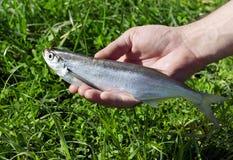 Fish of river Volga, Russia, Royalty Free Stock Image