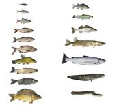 Fish of rivers and lakes Royalty Free Stock Photo