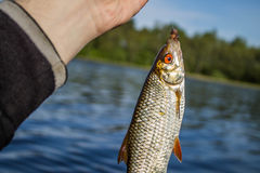 Fish roach in the hand of angler Royalty Free Stock Images
