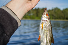 Fish roach in the hand of angler Stock Photo
