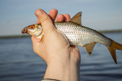 Fish roach in the hand of angler Royalty Free Stock Photography