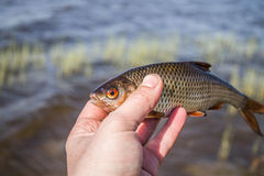 Fish roach in the hand of angler Stock Photography