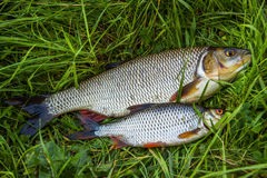 Fish roach and ide on the grass. Fresh. Freshly caught fish lying on the grass Royalty Free Stock Images