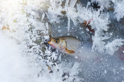 Fish Roach In Winter Royalty Free Stock Image