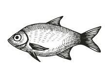 Fish roach sketch