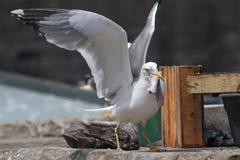 Fish robbery on harbor Royalty Free Stock Photo