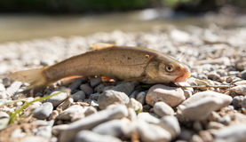 Fish on the rocks by the river Stock Photography
