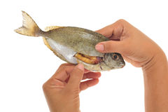 Fish With Roe Royalty Free Stock Photo