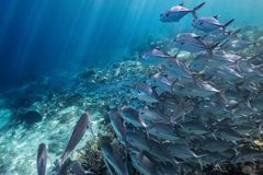 Fish Route. A school of fish in Indonesia Royalty Free Stock Photos