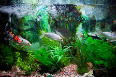 Fish in a row in aquarium. A couple of fish swimming in a row in a green aquarium royalty free stock photography