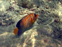Fish : Royal Angelfish. A nice and coloured royal angelfish near the coral reef of Maldives Stock Images