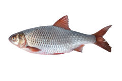 Fish rudd Royalty Free Stock Photos