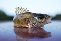The fish ruff. Is the head to the right, the fin with sticking needles Stock Image