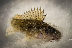 Fish Ruff on the ice. Winter fishing Royalty Free Stock Photo