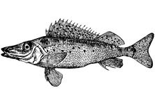 Fish Ruff (Illustration) Stock Images