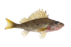 Fish ruff Royalty Free Stock Images