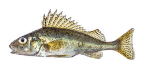 Fish ruff isolated on white background Gymnocephalus cernuus. Fish ruff isolated on white background Gymnocephalus cernuus Royalty Free Stock Photo