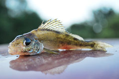 Fish ruff. Lies on the surface with a reflection of the head to the left Royalty Free Stock Images