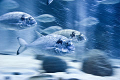 Fish motion blur. School of coldwater fishes swimming in a circle at their tank in Berlin Oceanarium and cutting through water thickness Stock Image