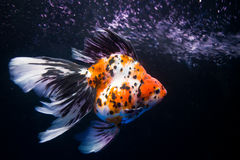 A fish's surfing. A fish is surfing in the aquarium Royalty Free Stock Photography