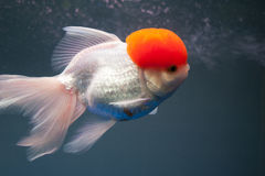 A fish's surfing. A fish is surfing in the aquarium Royalty Free Stock Images