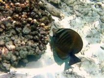 Fish : Sailfin Tang. This Sailfin Tang is a common maldivian fish that lives near the coral reef Royalty Free Stock Photo