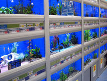 Fish swimming in tanks in a pet store. Royalty Free Stock Photo