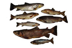 Fish Salmon Stock Photography