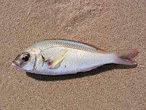 Fish on Sand Royalty Free Stock Images