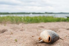 Fish in the sand. Carp, background Stock Photo