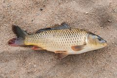 Fish in the sand,. Carp, background Stock Image