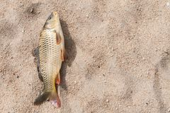 Fish in the sand, carp. Background Royalty Free Stock Photos