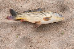 Fish in the sand, carp. Background Stock Image