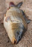 Fish in the sand, carp. Background Stock Photo