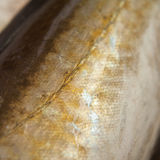 Fish scale. Caught in Noth Sea. MAcroperspective. Background. Fish gills Royalty Free Stock Image