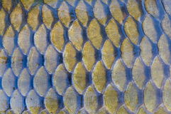 Fish scales. Big carp scales great for background Stock Photo