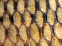 Fish scales. Closeup of golden carp scales Royalty Free Stock Photography