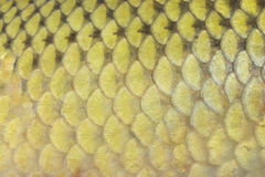 Fish scales. Background scales big fish carp Royalty Free Stock Photos