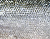 Fish scales. Close-up of salmo scales royalty free stock photos
