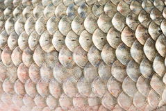 Fish scales. Close up of fish scales. From a carp stock image