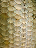 Fish scales. Close-up of fish scales royalty free stock photo