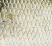 Fish scales Royalty Free Stock Image