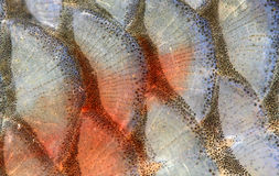 Fish scales - closeup. Royalty Free Stock Photos